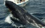 États-Unis. Un pêcheur sain et sauf après avoir été avalé puis recraché par une baleine à bosse